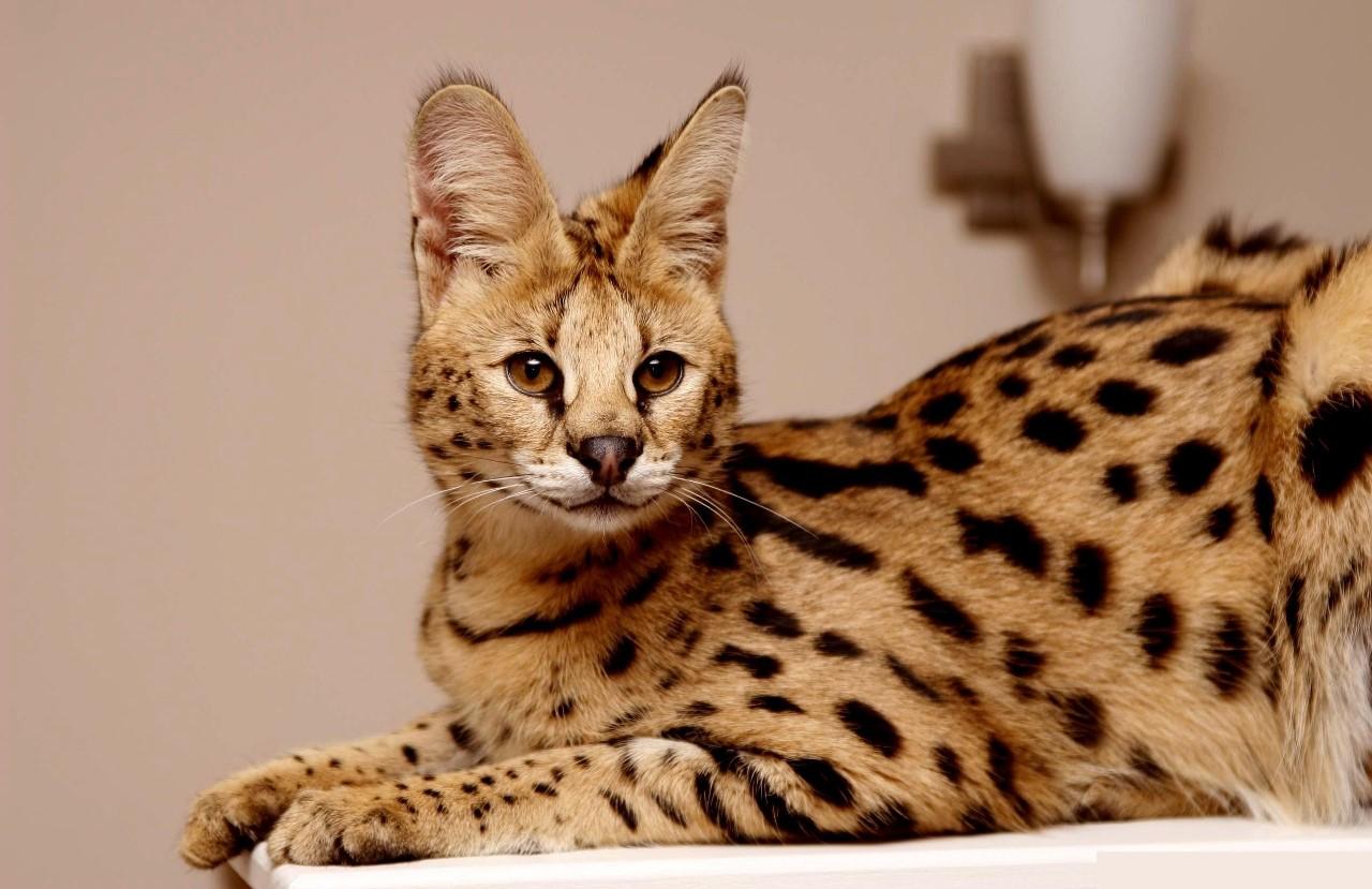 Виды экзотических кошек