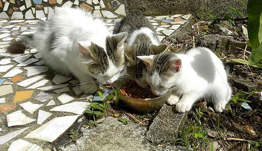 Вирус иммунодефицита у кошек
