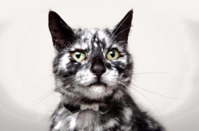Витилиго у кошек