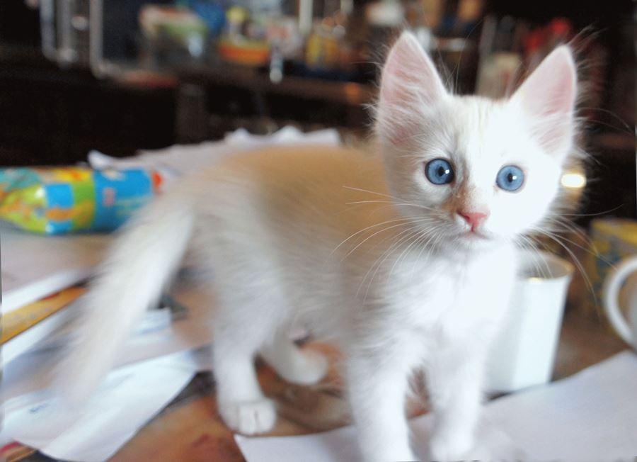 Взять турецкого котенка ангора