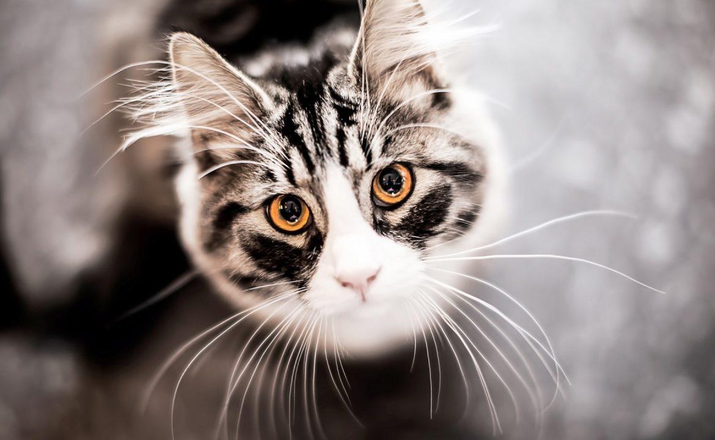 Зачем кошке вибриссы?