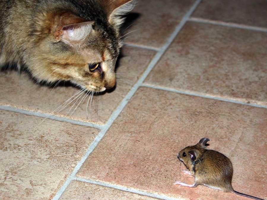 Зачем кот приносит мышей