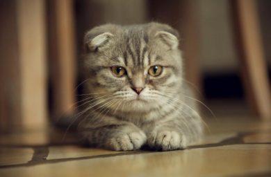 Желудочные заболевания у кошек