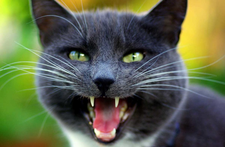Скачать звуки крик кота