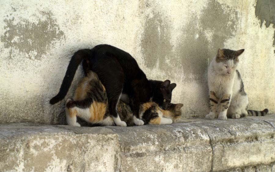 Звуки кошек в брачный период
