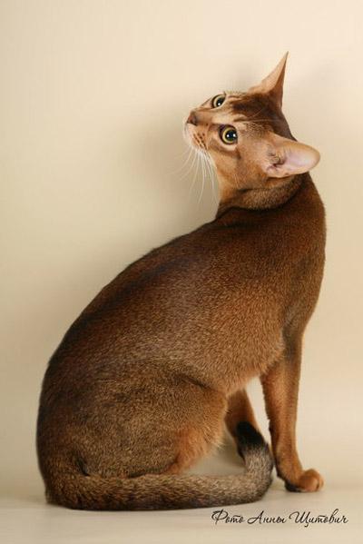 Стандарт породы абиссинских кошек
