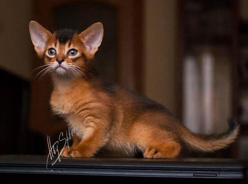 Абиссинская кошка окрас фото