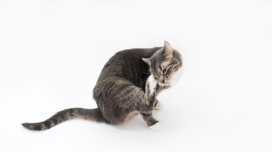 Симптомы аллергии на курицу у кошек