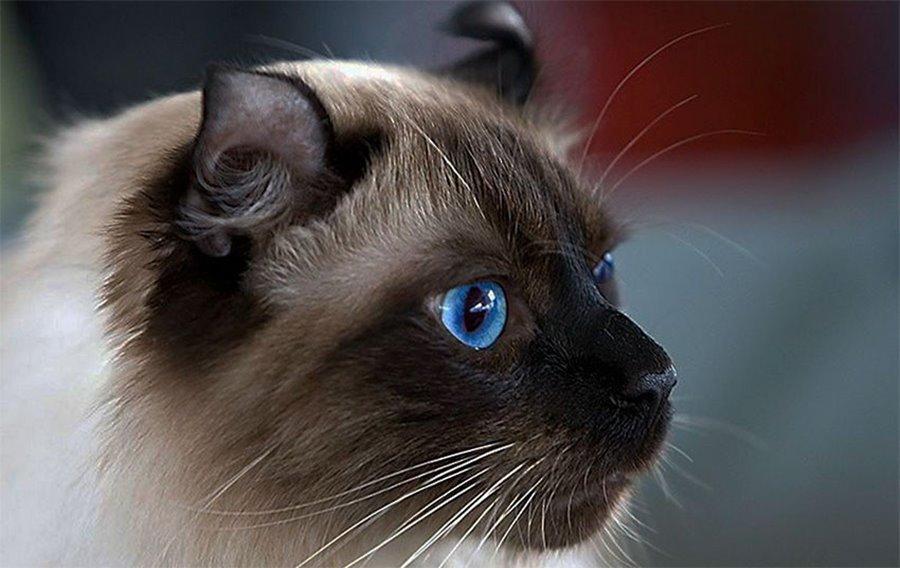 Цена кошки породы американский керл
