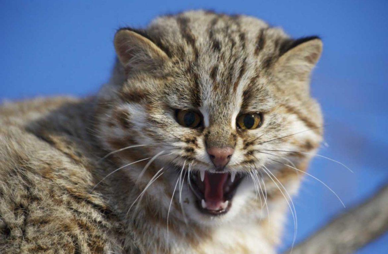 Демодекоз у кошек: лечение 79