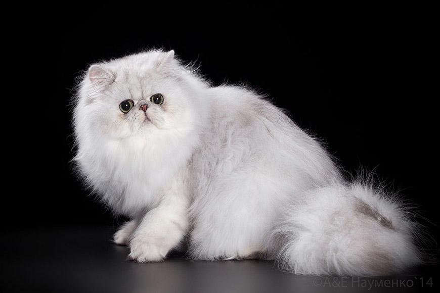 Порода белой кошки с большими глазами
