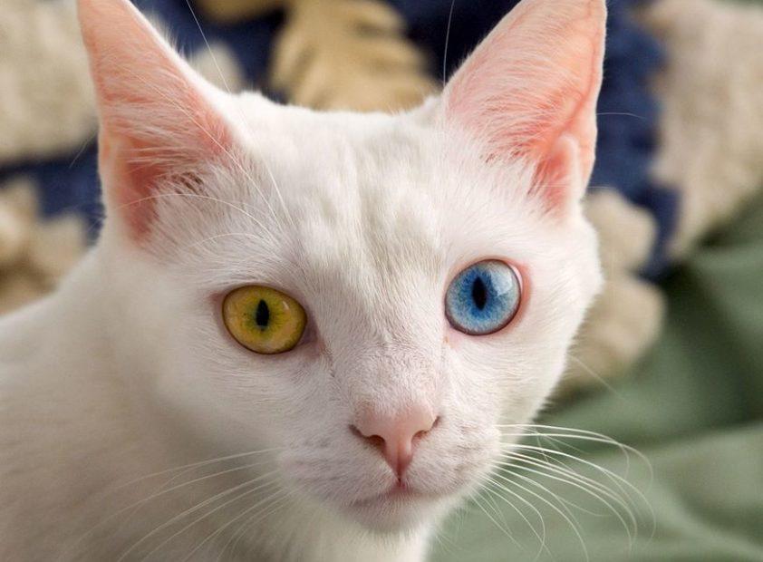 Порода белой кошки с разноцветными глазами