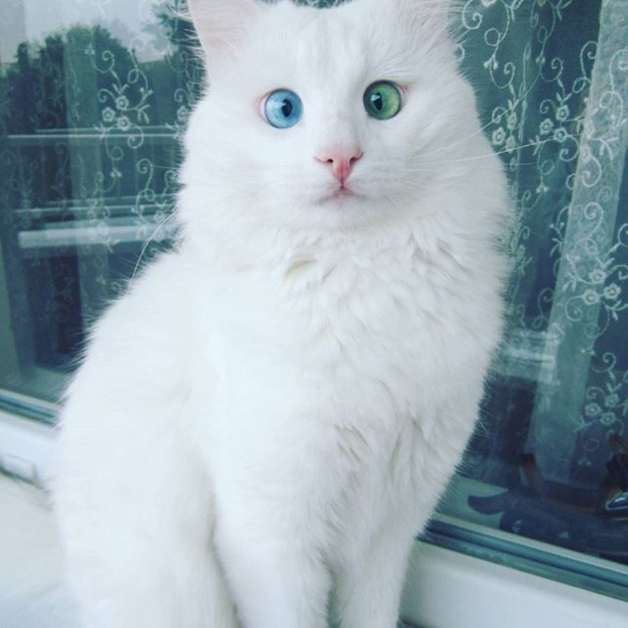 повышения уровня фото белого пушистого кота с разными глазами диванов ценам производителя