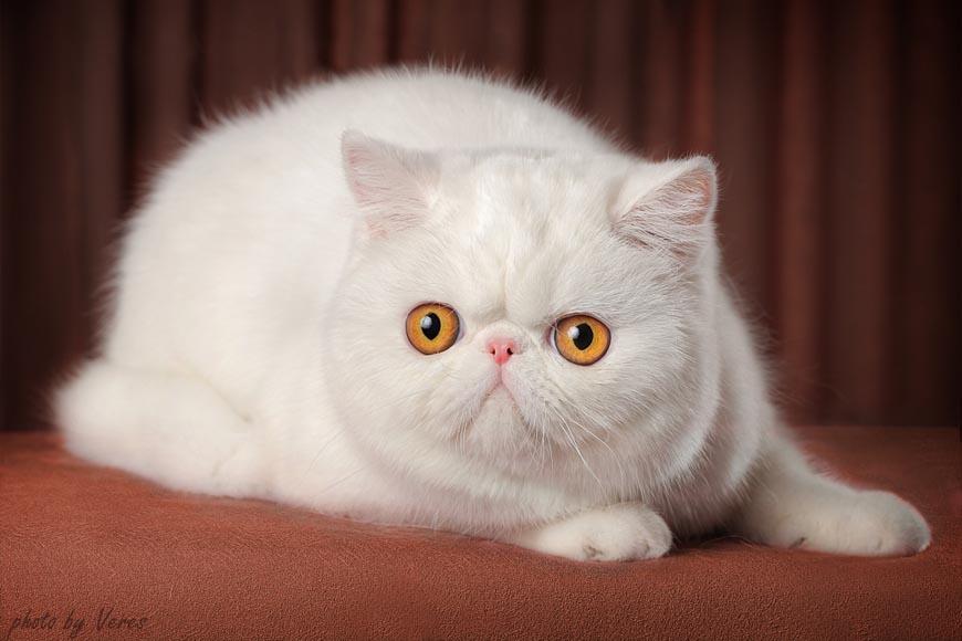 Порода белой кошки с желтыми глазами