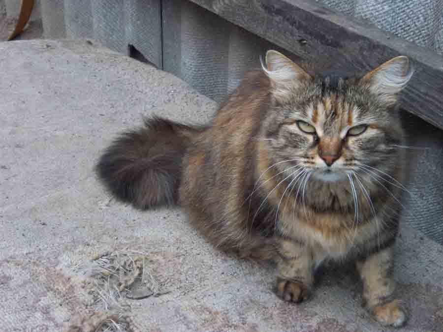 Бешенство у кошек: опасность для человека