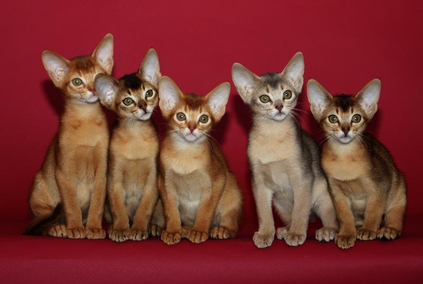 болезни абиссинских котов