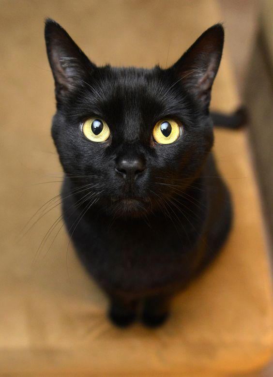 бомбейская кошка описание породы