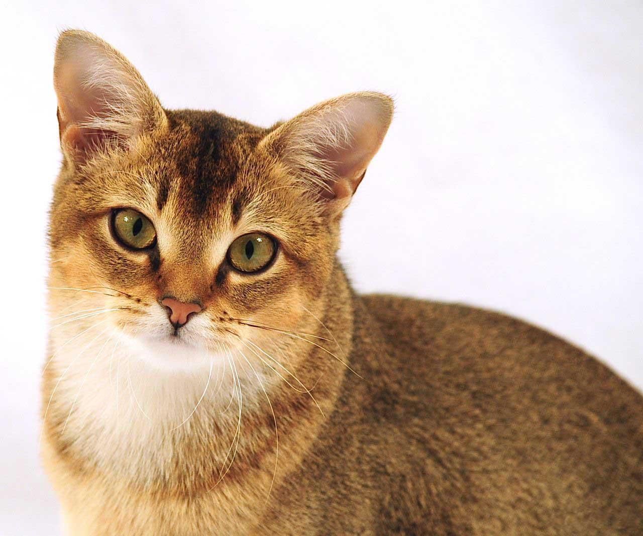 Все породы мира котов с картинками