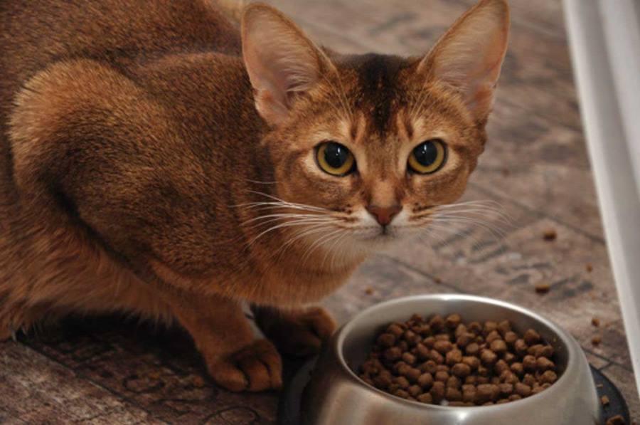 Чем кормить кошку при диабете