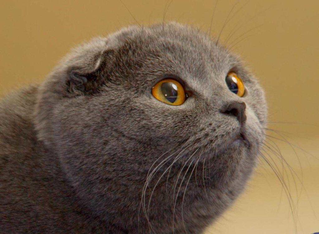 настолько коты шотландцы фото вислоухие группу этой классификации