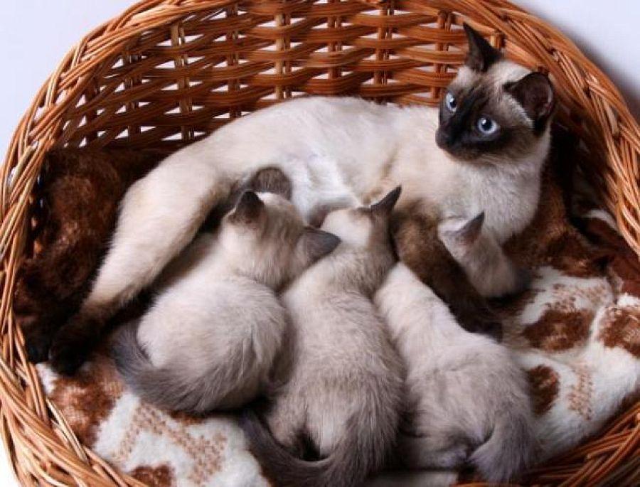 Через какое время у кошки пропадает молоко?