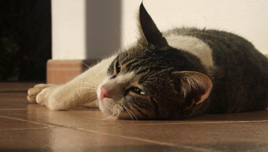 Что давать коту от шерсти в желудке
