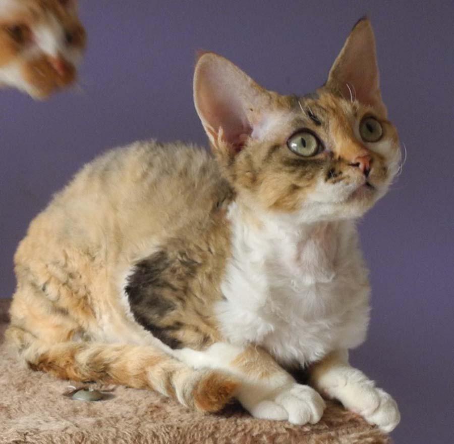 кошка девон рекс фото описание