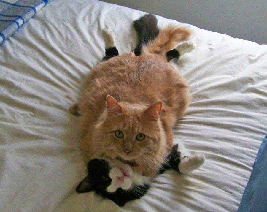 кошка влюбленная картинки