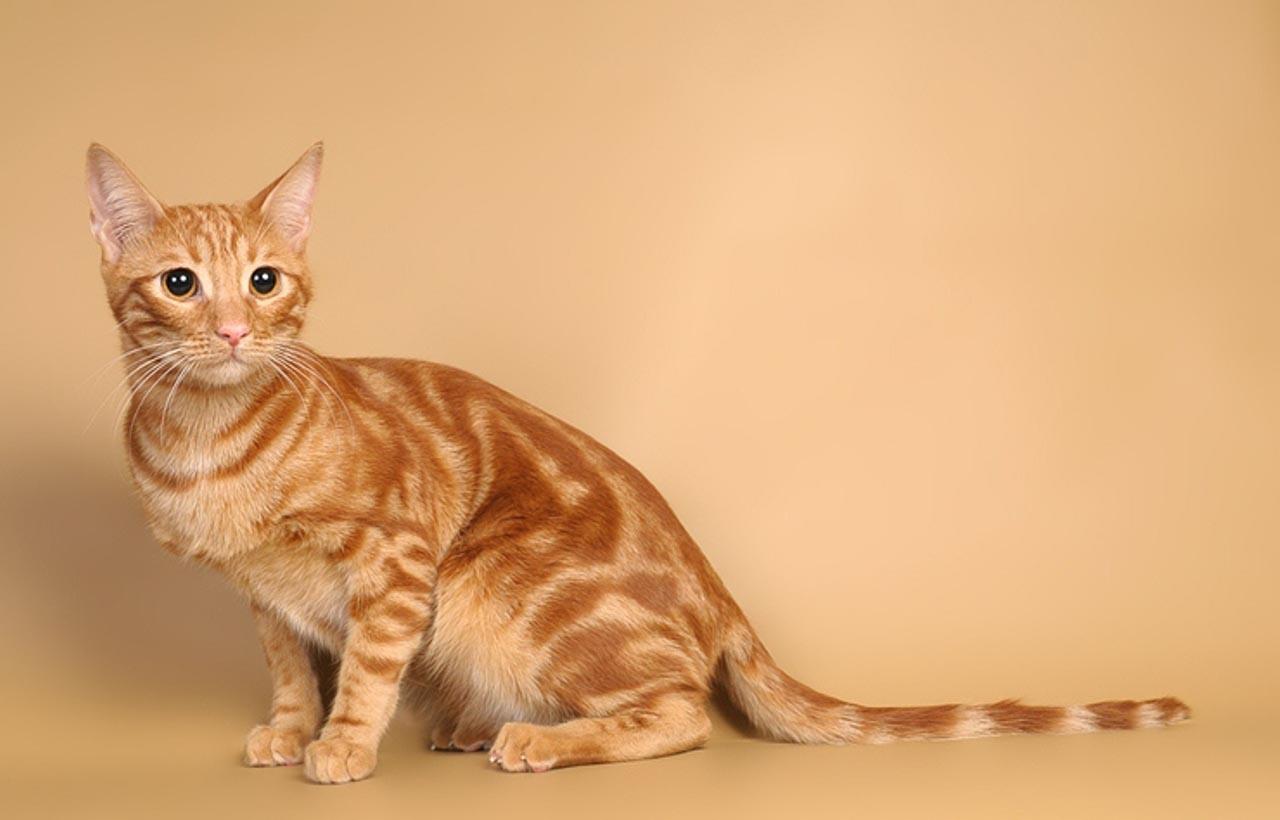 Где купить кошку породы анатолийская