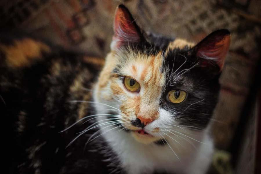 Симптомы гипертрофической кардиомиопатия у кошек