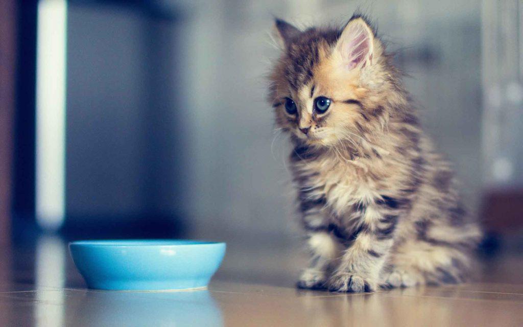 Голодная рвота у кошек