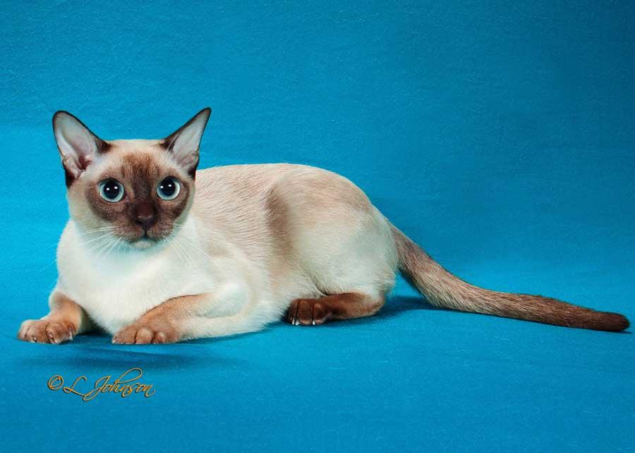 Голубоглазая кошка породы тонкинез