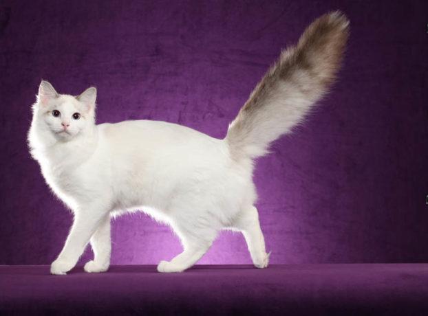 Голубоглазая кошка, порода рэгдолл, RW QGC Cajunragdolls Painted Dream At Five Months OLD, питомник Сajun