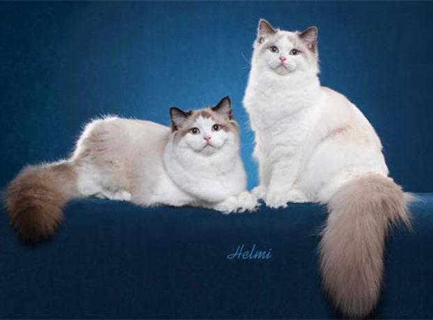 Голубоглазые кошки породы рэгдолл, Dancing On The Moon (left), Walking On The Sun (right), питомник Сajun