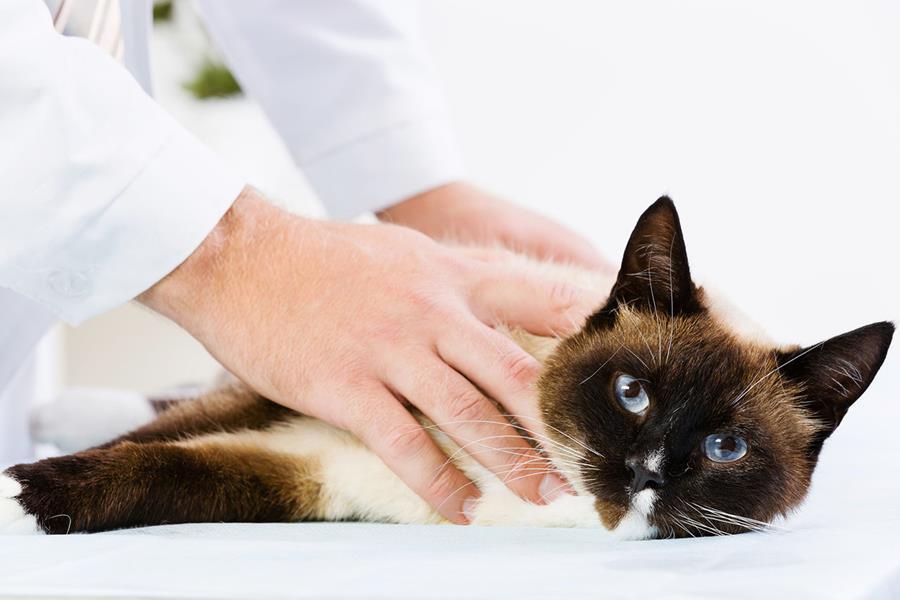 Хроническая почечная недостаточность у кошки: стадии