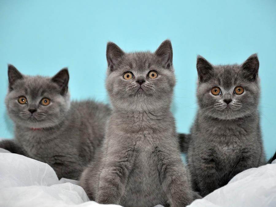 Имена для британских кошек-девочек