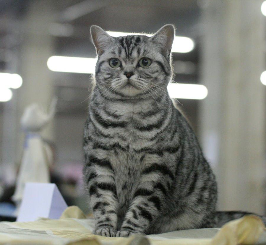 Интересные клички для британских котов