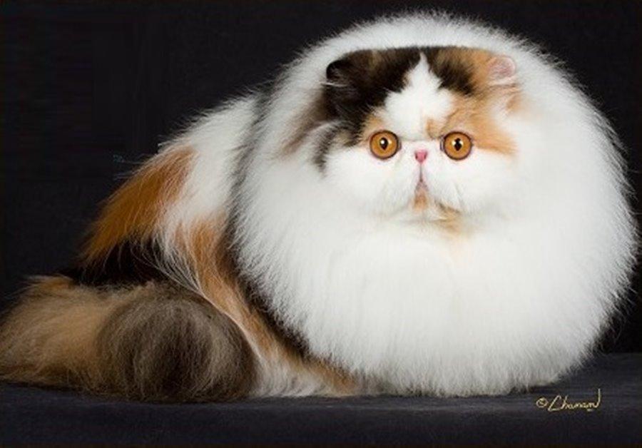 перс коты фото