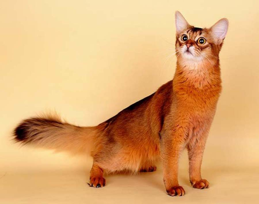 кошки сомалийские фото