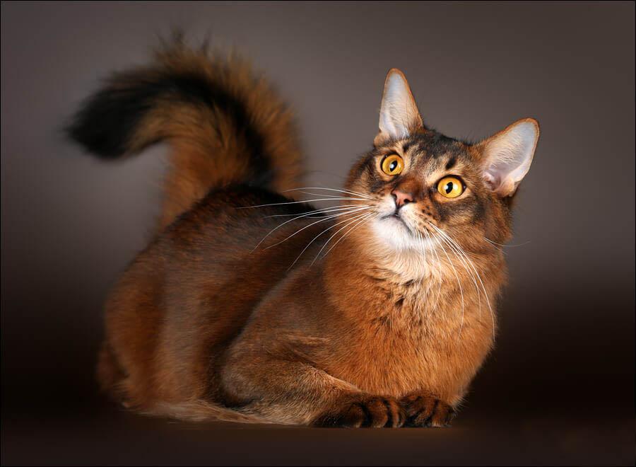 История сомалийской кошки