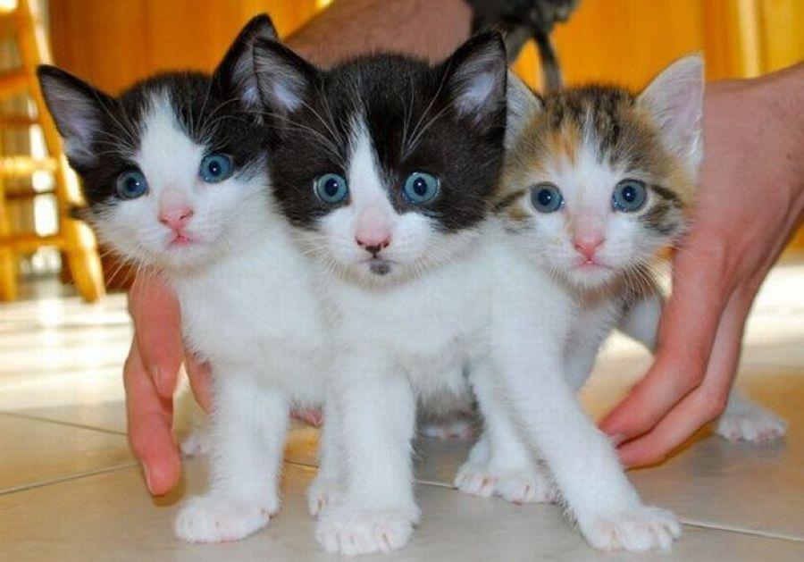 Как долго перегорает молоко у кошки?