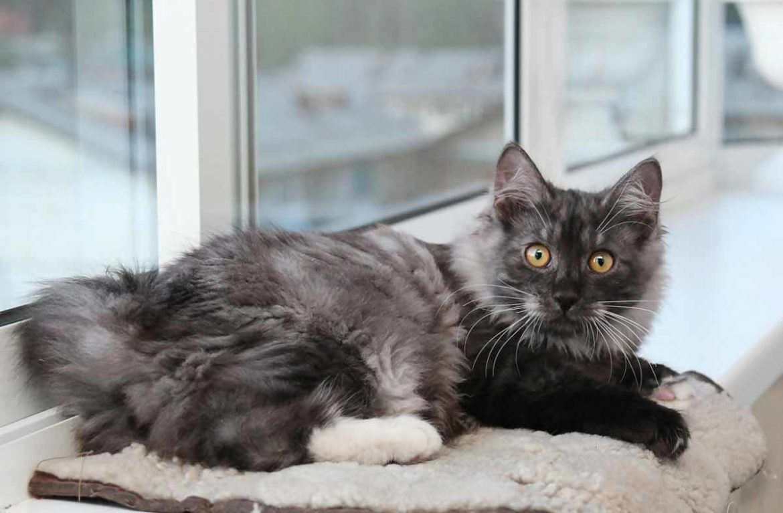 Кошки-бобтейлы и другие породы кошек без хвоста кошка и кот без хвоста, похожие на рысь