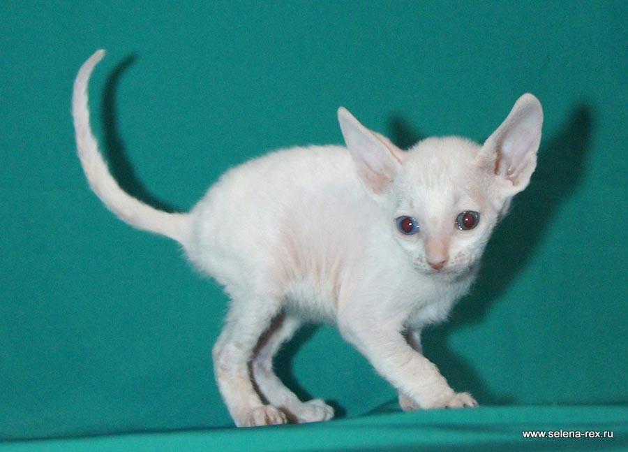 Фото котёнка корниш-рекс