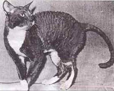 Как появилась порода кошек корниш рекс thumbnail