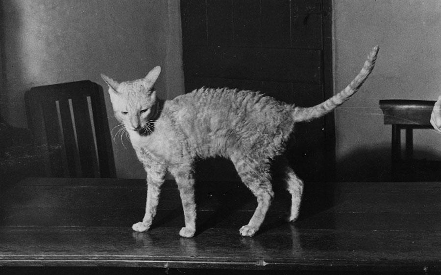 История породы корниш-рекс: кот Кэллибанкер