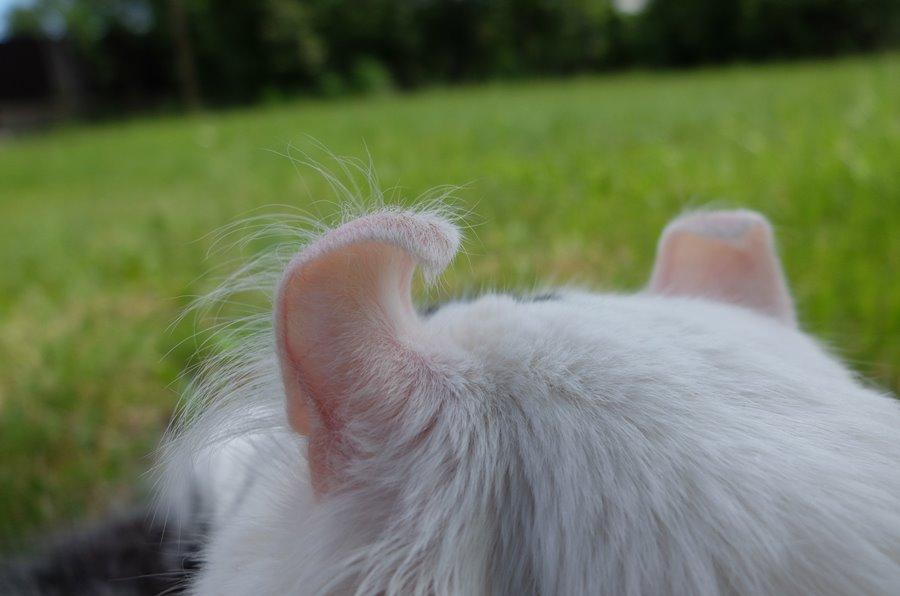 Кошка американский кёрл: фото