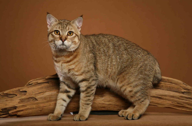 домашние рыси кошки