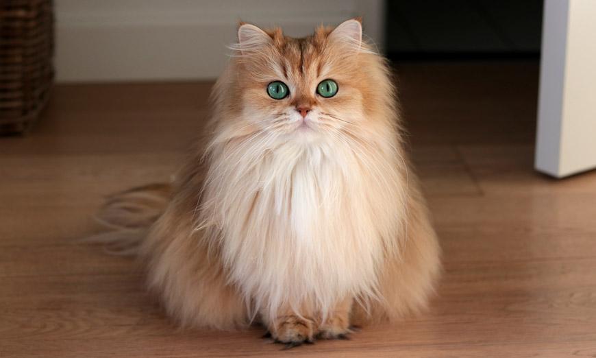 Порода кошки с огромными глазами