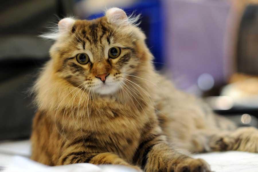 Кошка с завитыми ушами