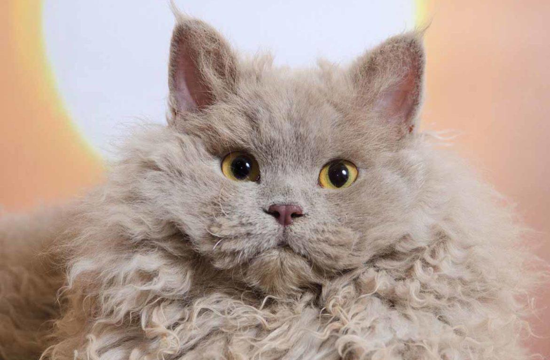 Кучерявые кошки фото порода